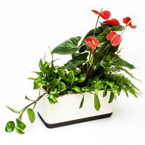 rośliny oczyszczająće w doniczce airy kompozycja czerwona