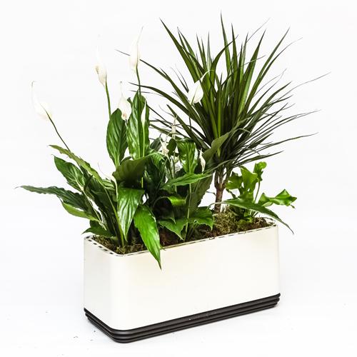 Rośliny oczyszczające w doniczce Airy - Kompozycja Biała Mała