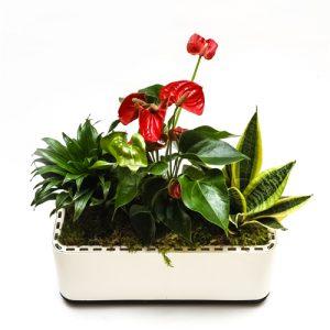 roślina oczyszczająća w doniczce airy - czerwona kompozycja