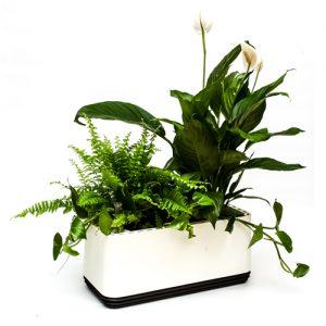 roślina oczyszczająca