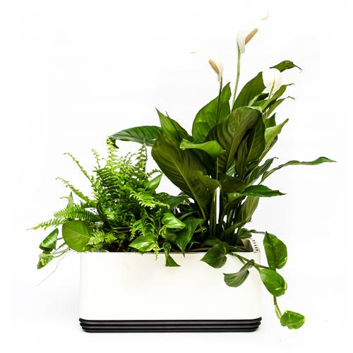 Rośliny oczyszczające w doniczce Airy- Kompozycja Biała