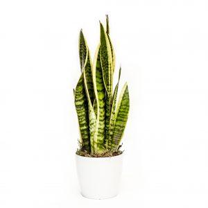 roślina oczyszczająca w okrągłej doniczce Airy - Sanseveria