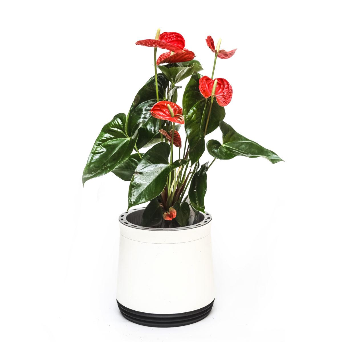 Roślina w okrągłej doniczce Airy - Anthurium