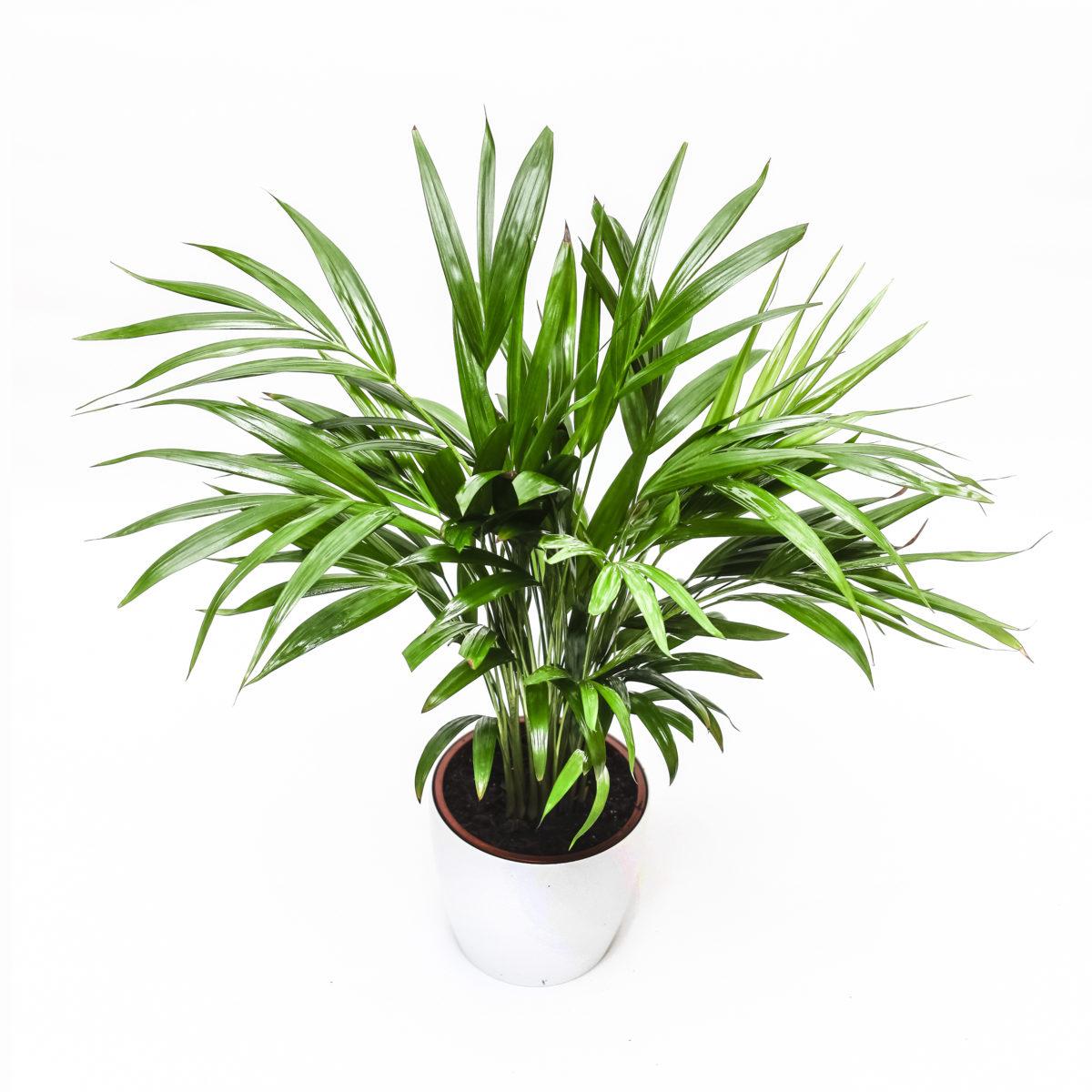Roślina oczyszczająca w okrągłej doniczce Airy - Palma