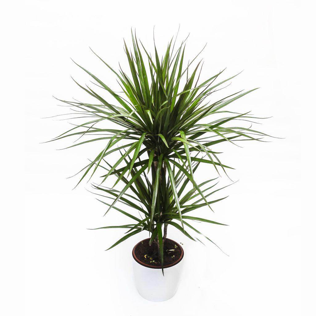 Roślina oczyszczająca w okrągłej doniczce Airy - Dracena