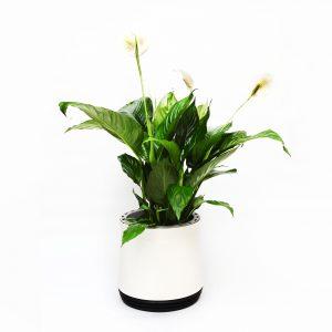 roślina oczyszczająca w okrągłej doniczce Airy Skrzydłokwiat