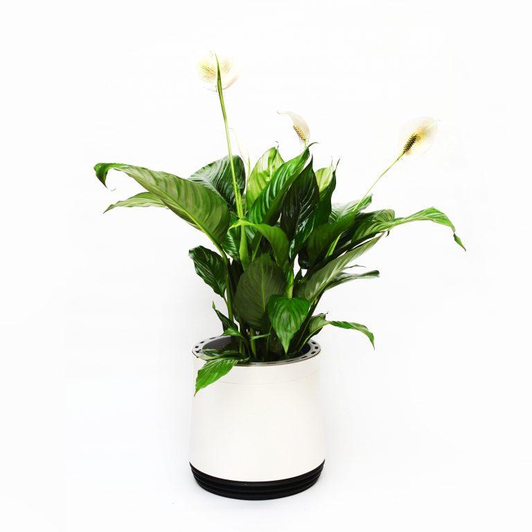 Skrzydłokwiat - kwiat na smog