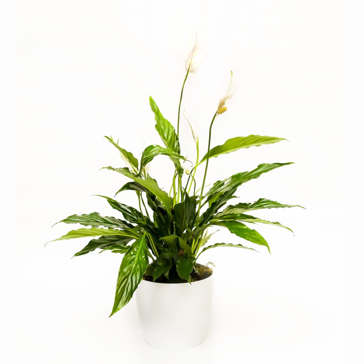 Skrzydłokwiat w doniczce Airy - Roślina oczyszczająca