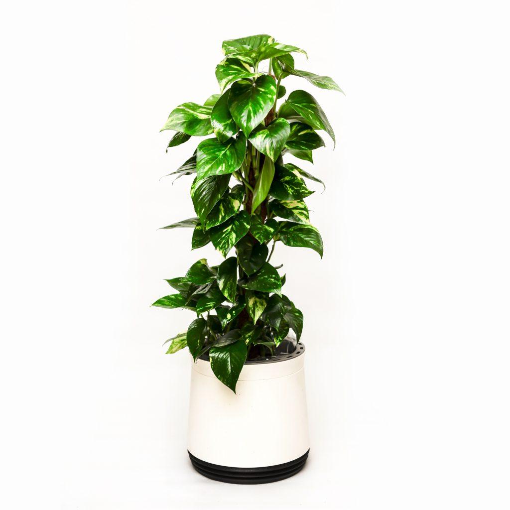 Roślina oczyszczająca w okrągłej doniczce Airy - Scindapsus